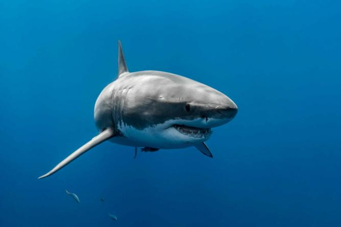 The legendary Great White Shark | © George Probst/Flickr