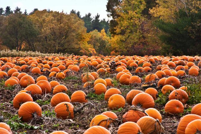 Pumpkin Patch | © Liz West/Flickr
