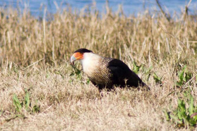 Crested Caracara at Cameron Prairie | ©ilouque/Flickr