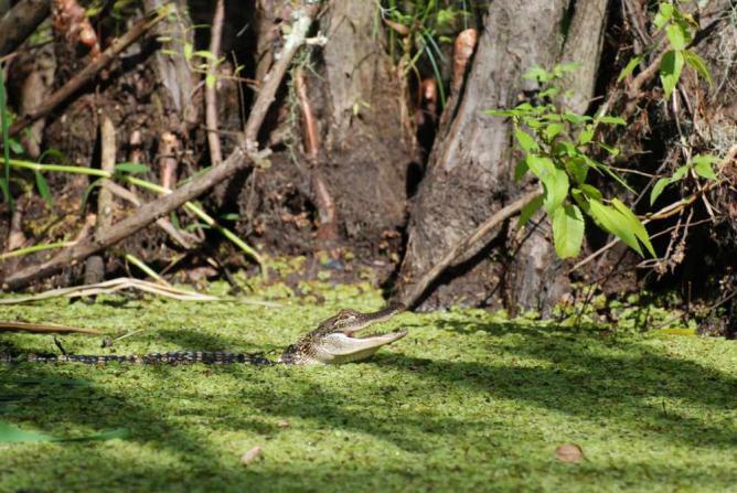 Honey Island Swamp | ©Paul Mannix/Flickr