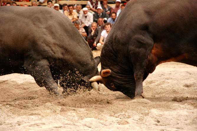 Bull fighting I © Romel Jacinto/Flickr