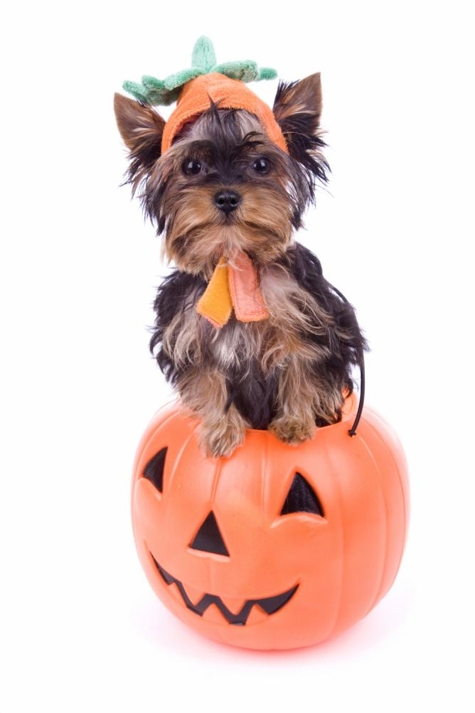 For a more cuddly Halloween, play with a pumpkin puppy | Courtesy of Pet Pavilion