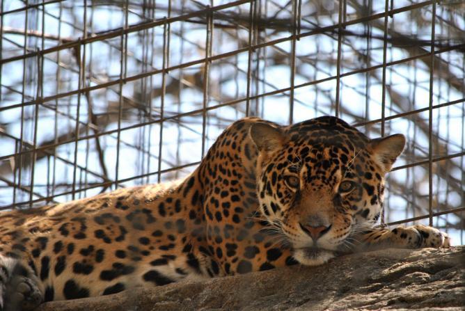 A Jaguar at San Antonio Zoo