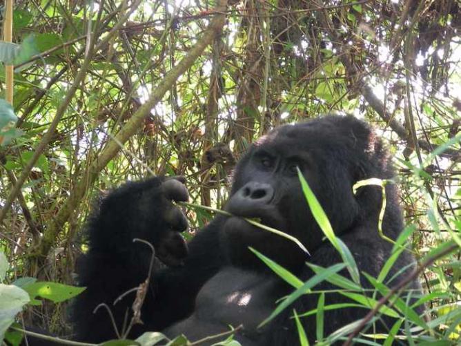 Bwindi (Uganda) female gorilla eating | © Joxeankoret/Flickr