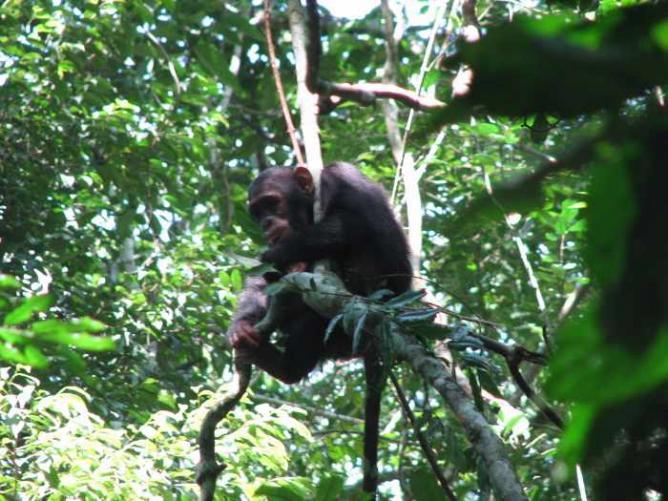 Chimpanzee | © Sarahemcc/Flickr