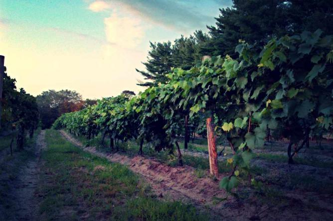 The vineyards at Renault Winery.