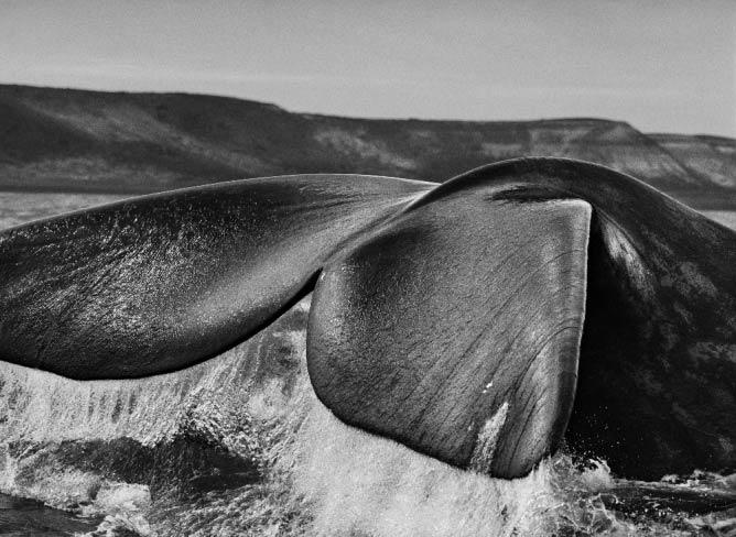 Southern right whales | © Sebastião Salgado / Amazonas images