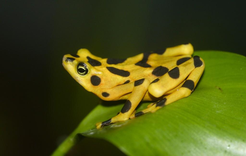 Panamanian Golden Frog (Rana Dorada) | ©Brian Gratwicke/Flickr