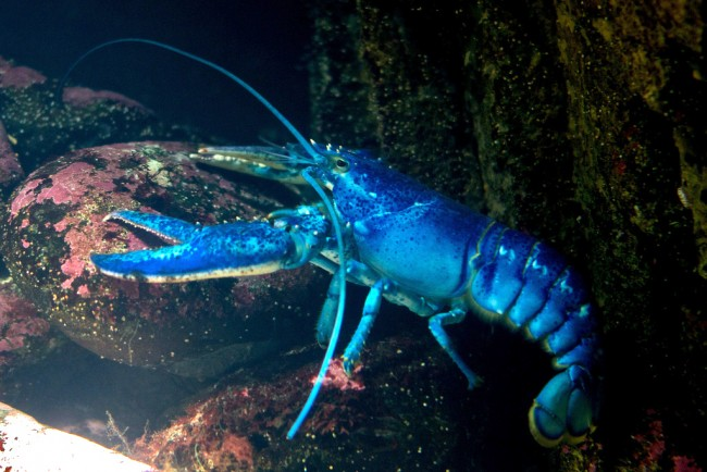 Blue lobster   © ryan harvey/Flickr