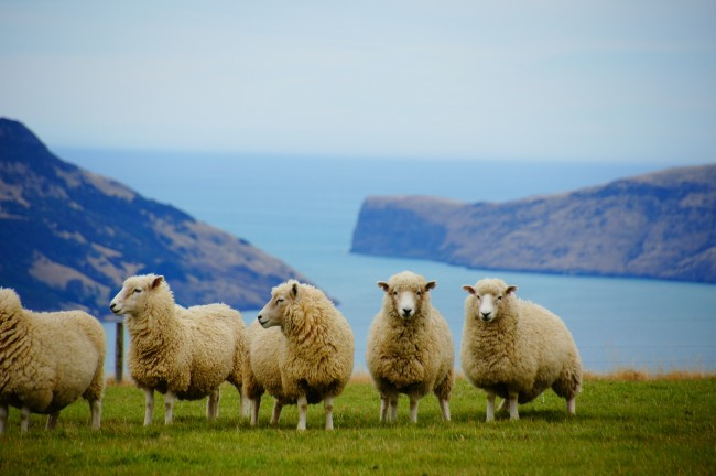Sheep in New Zealand | © MartinStr/Pixabay