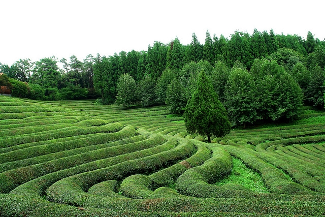 Boseong Green Tea Fields |©영철 이/ Flickr