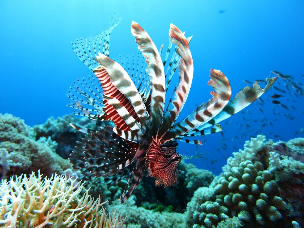 Lion Fish is one of the snorkeling sights in Crystal River.