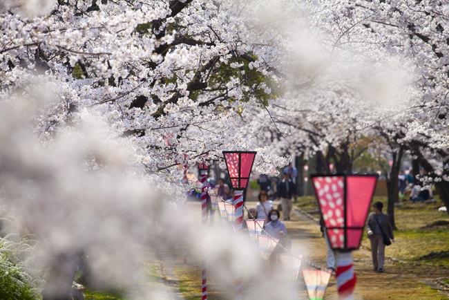 Сакура из замка Осака в саду Нишиномару  loverme