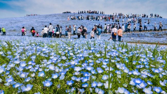 Туристы просматривают сезонную флору в Приморском парке Хитачи  loverme