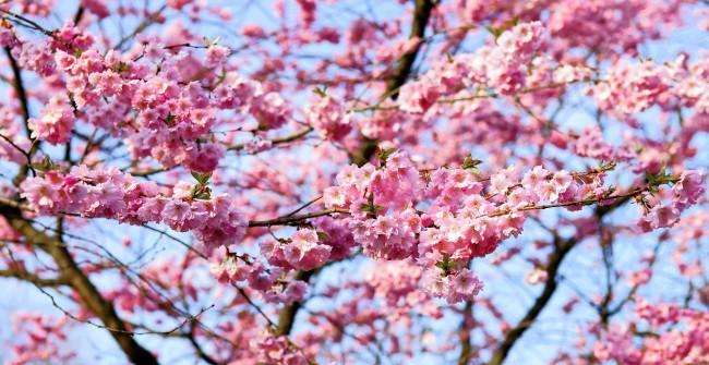 Cherry Blossom in Japan   © Kapa65/Pixabay