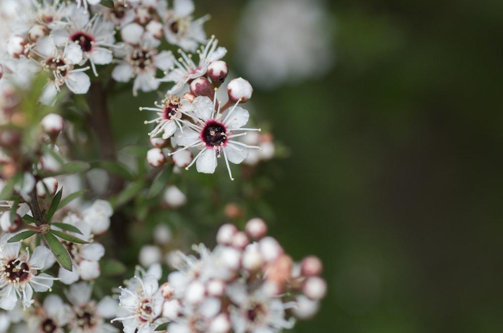 Manuka flowers | © M Rutherford/Shutterstock