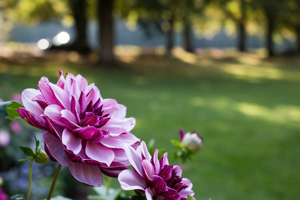 Dahliengarten | © Daniel Ringwald/Flickr