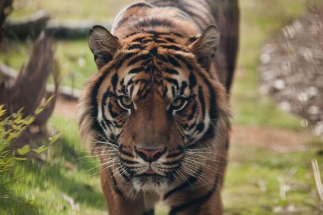 Sumatran Tiger |© Martin/Flickr