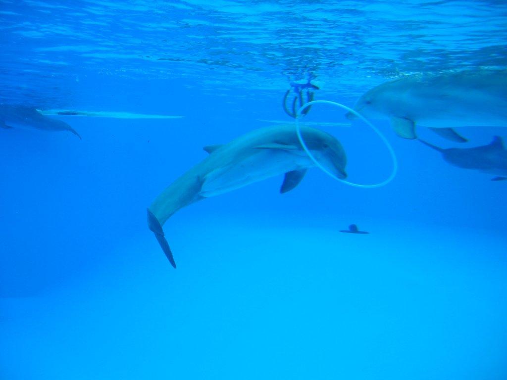 Dolphins [ © Arnaud 25/Wikimedia ]
