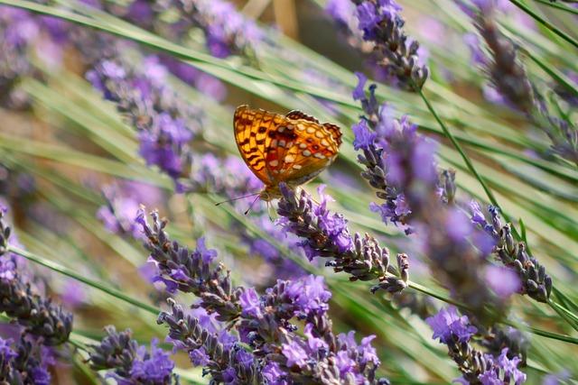Lavender/©ResoneTIC/pixabay