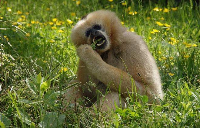 Lyon, Parc de la Tête d'Or, Gibbon  ©Domanique Chanut/Flickr