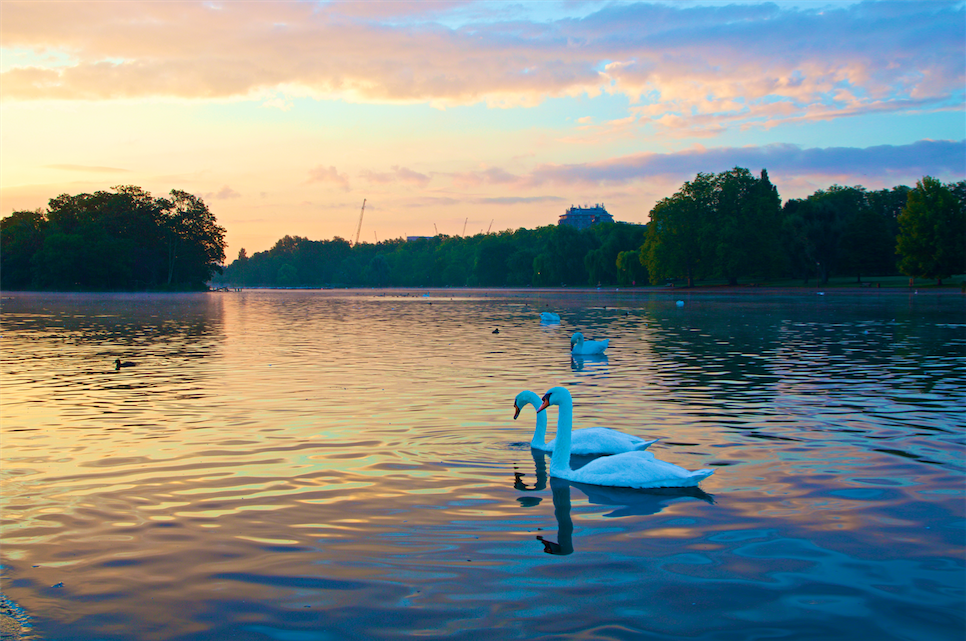 Serpentine Swans | Courtesy of Jesse Stafford