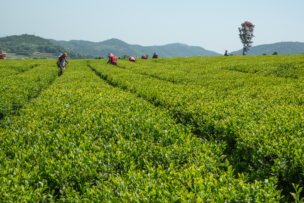 Towns in South Korea, Tea Plantations of Boseong © Meteorite / Shutterstock