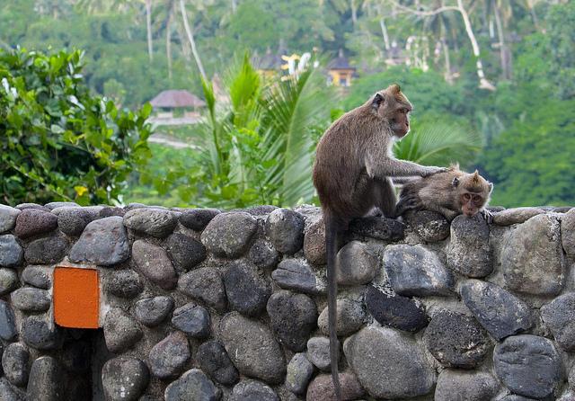 Bali Monkeys at Alila Hotel, Ubud | © Helidixon/Flickr