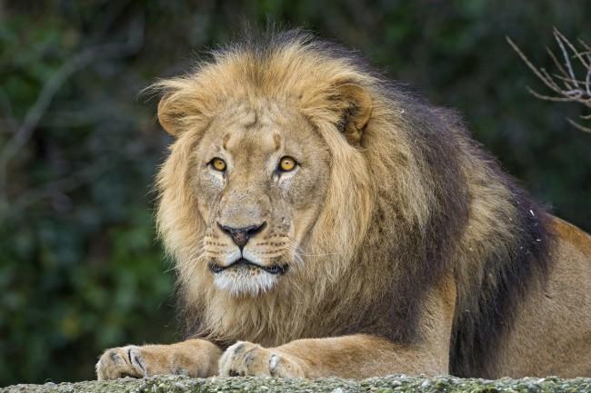 Lion | © Tambako The Jaguar/Flickr