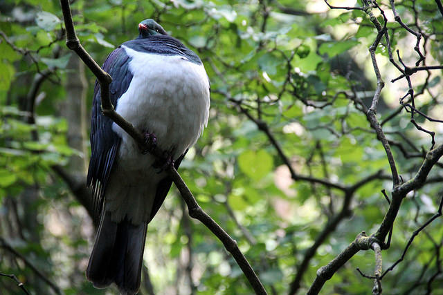 Photo of a Native New Zealand Wood Pigeon (kereru) at Zealandia | © Gabriel Pollard/flickr
