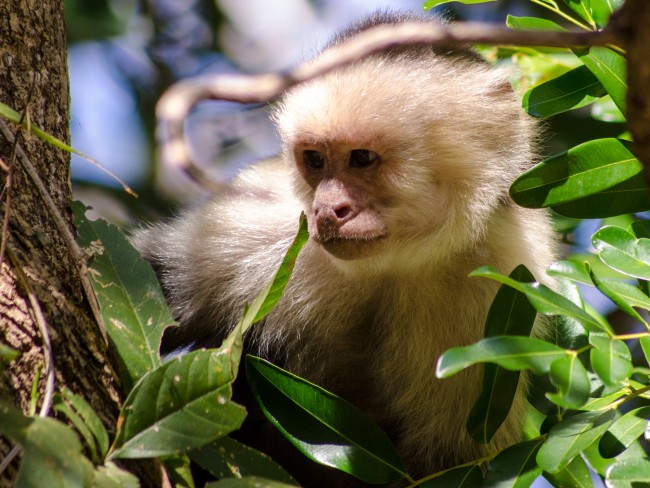 White-faced capuchin looks on, Santa Rosa, Bosque seco (dry forest), Guanacaste, Costa Rica | © thejaan/Flickr
