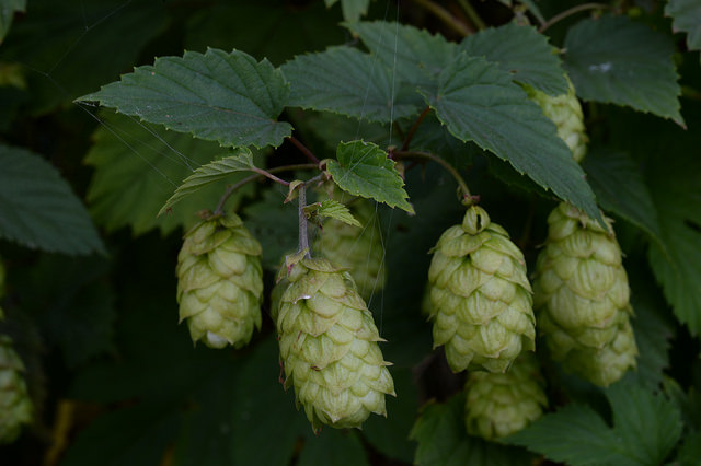 Humulus Lupulus | © Free Photos/Flickr