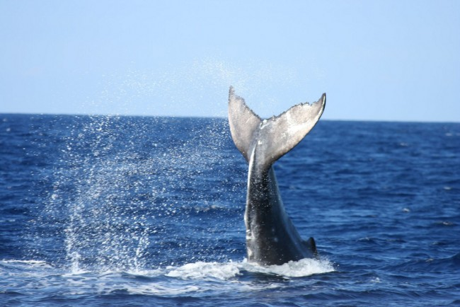 Humpback Whale | © Big Blue Ocean/flickr