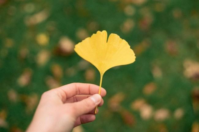 Ginkgo tree leaf | ©Barn Images/Flickr