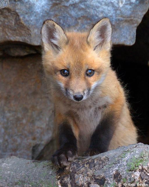 Baby Fox   © Eric Begin/Flickr