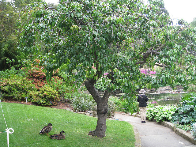 Cheal's Weeping cherry tree at Royal Tasmanian Botanical Gardens © Wendy Cutler/Flickr