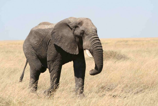 Elephant | © guido da rozze/Flickr