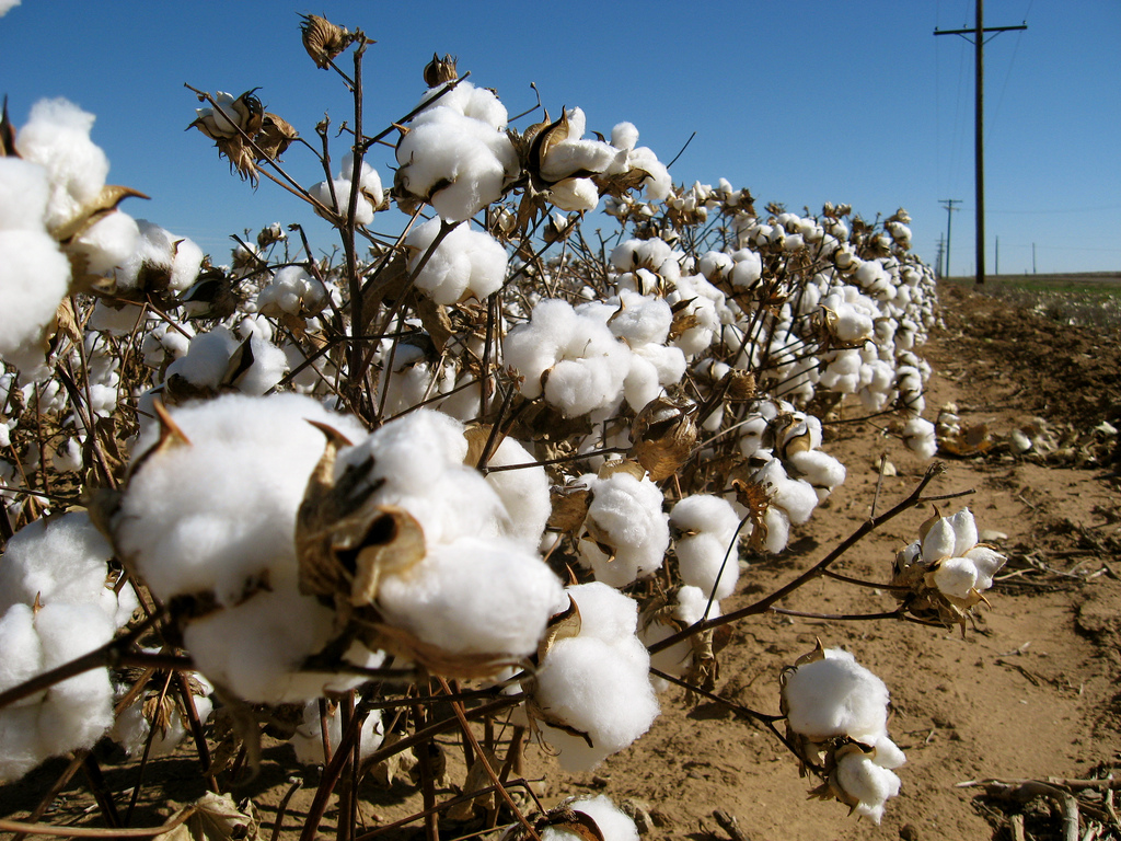 Cotton Harvest | © Kimberly Vardeman/Flickr