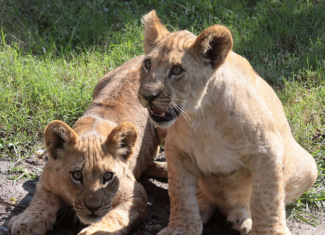 African Lion Cubs at Virginia Zoo © Drew Avery/Flickr