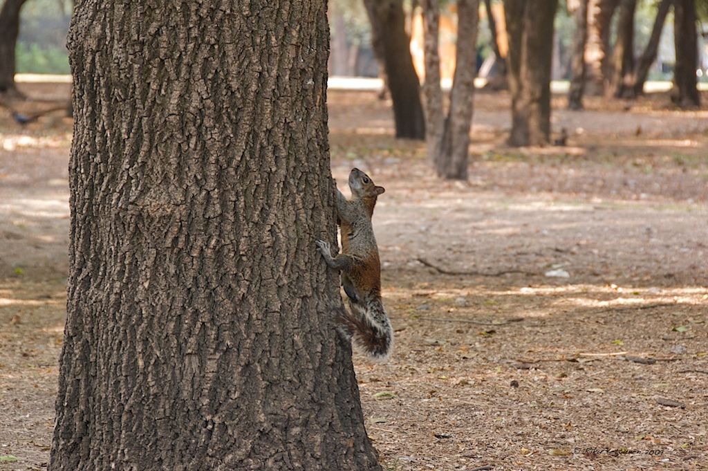 Squirrels in Bosque de Chapultepec © Riku Kettunen/Flickr