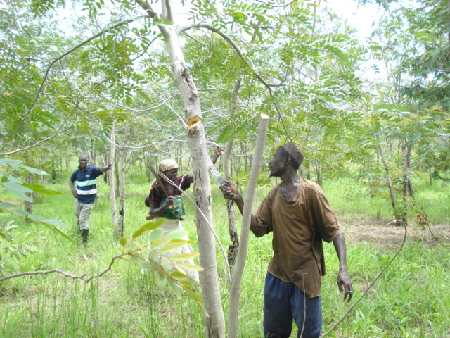 Ghana - woodlot harvesting 030 | © ARC/Flickr