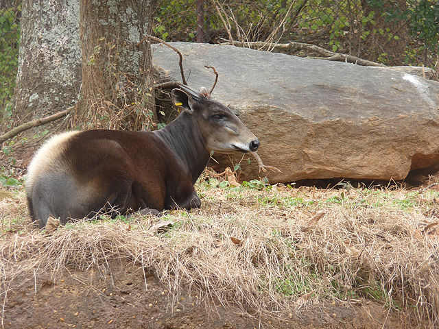Yellow-backed Duiker | © KCZooFan/WikiCommons