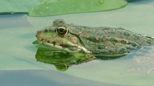 Frog | © paukrus/Flickr