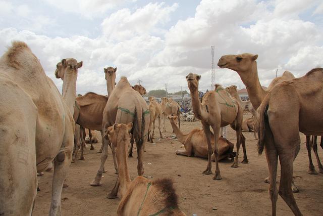 Camel Market| © Joepyrek/Flickr