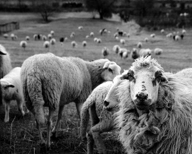 attentive sheep | © enki22 / Flickr