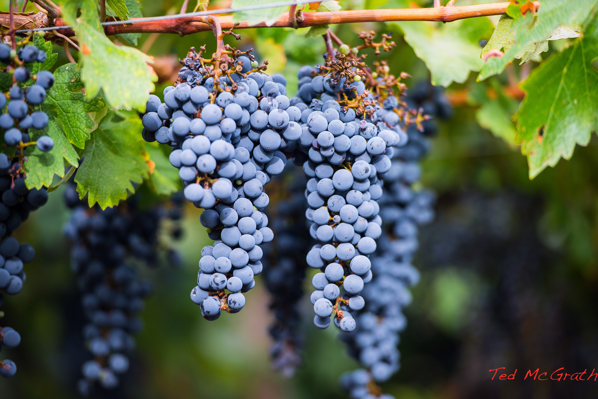 Argentinian Grapes | © Ted McGrath/Flickr