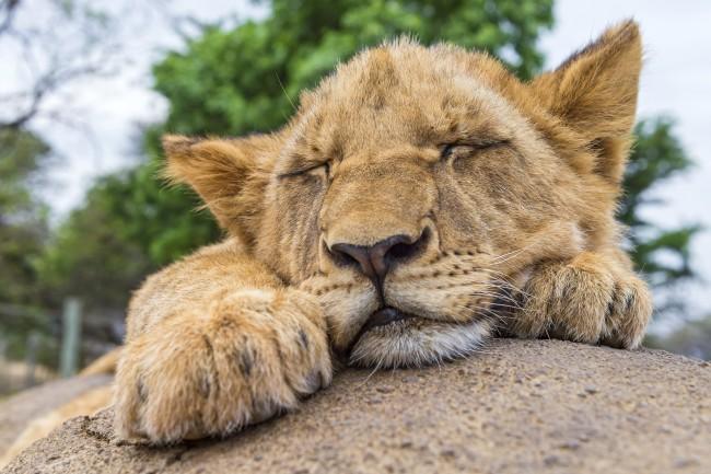 Get some rest | © Tambako the Jaguar/Flickr