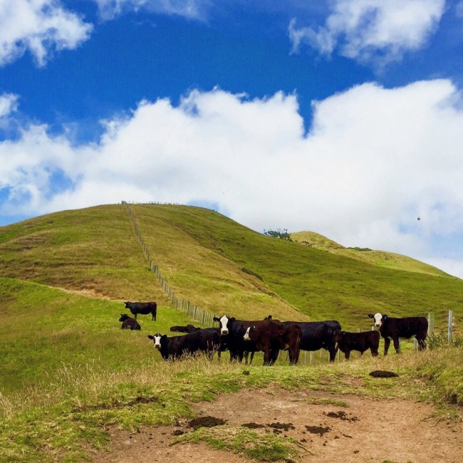 Cows on the Coromandel trail