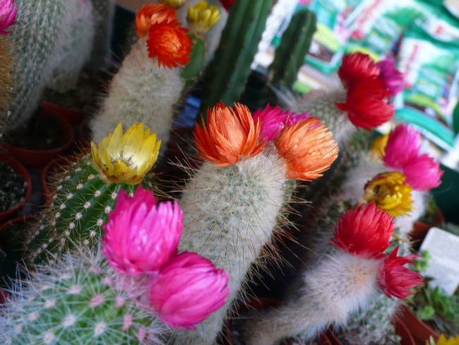 Flowering Cacti | © Raphaël Labbé/Flickr