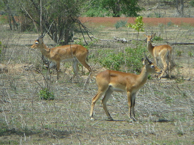 Kob in Mole National Park, Northern Region, Ghana, 2011 | © Abejaobrera/WikiCommons